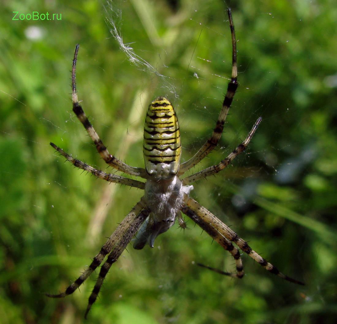 Красный паук: к чему снится большой паук или маленький красный паучок